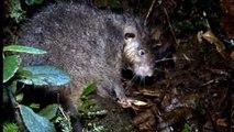 Des scientifiques ont découvert une nouvelle espèce de rat géant
