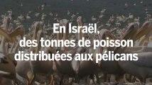 Israël offre à manger à plusieurs centaines de milliers de pélicans