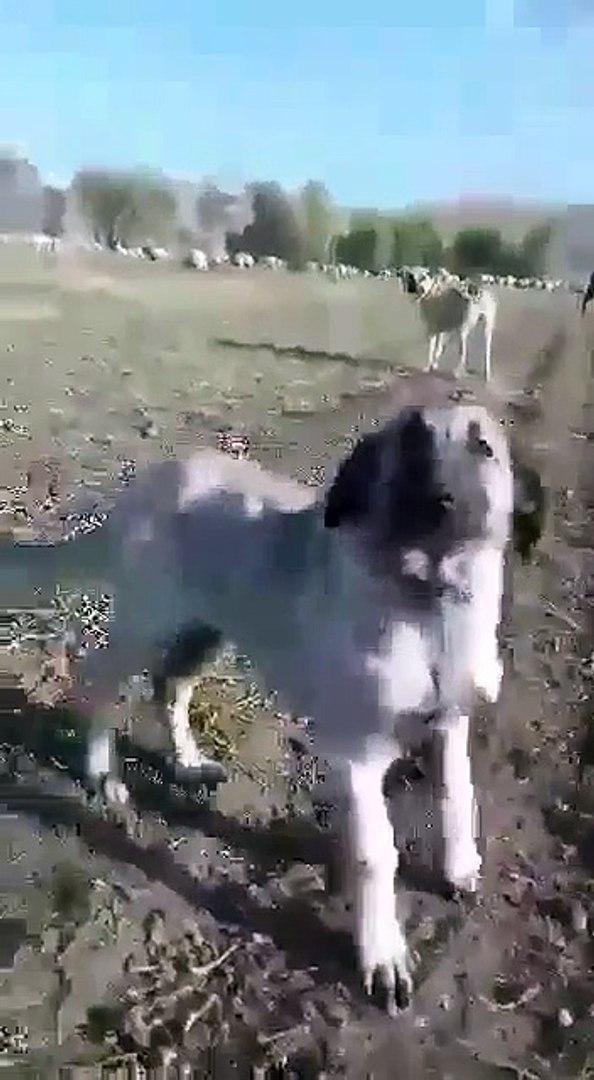 PEK SEViMLi SIMARIK COBAN KOPEGi YAVRUSU - CUTE ANATOLiAN SHEPHERD  DOG PUPPY