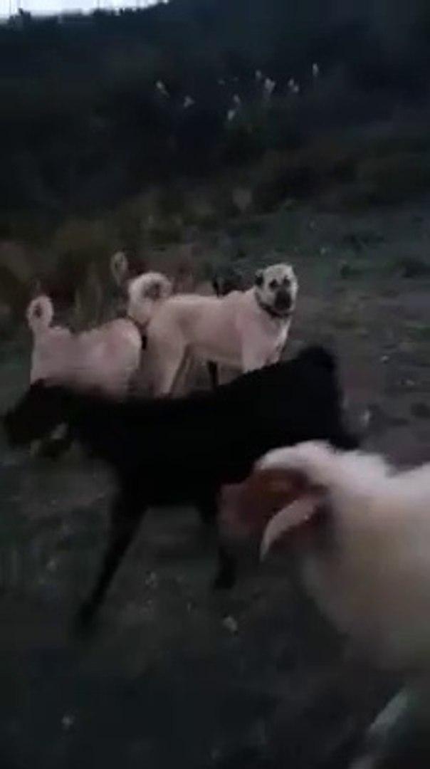 KANGAL KOPEKLERi KOYUN TAKiP - ANATOLiAN SHEPHERD KANGAL DOG and  SHEEP