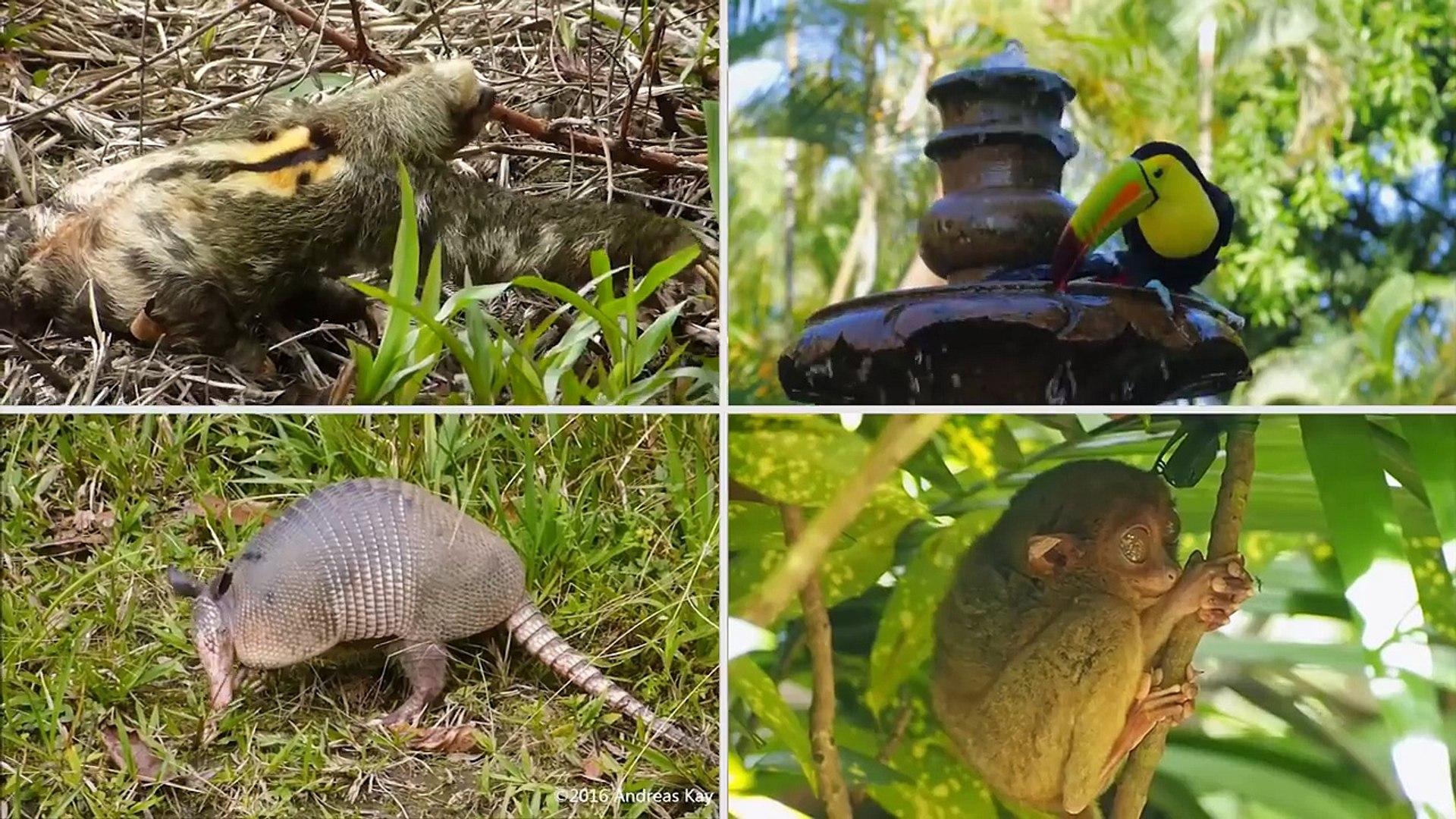 Çocuklar için yağmur ormanı hayvanları, yağmur ormanı hayvan sesleri, yağmur ormanları yaban hayatı
