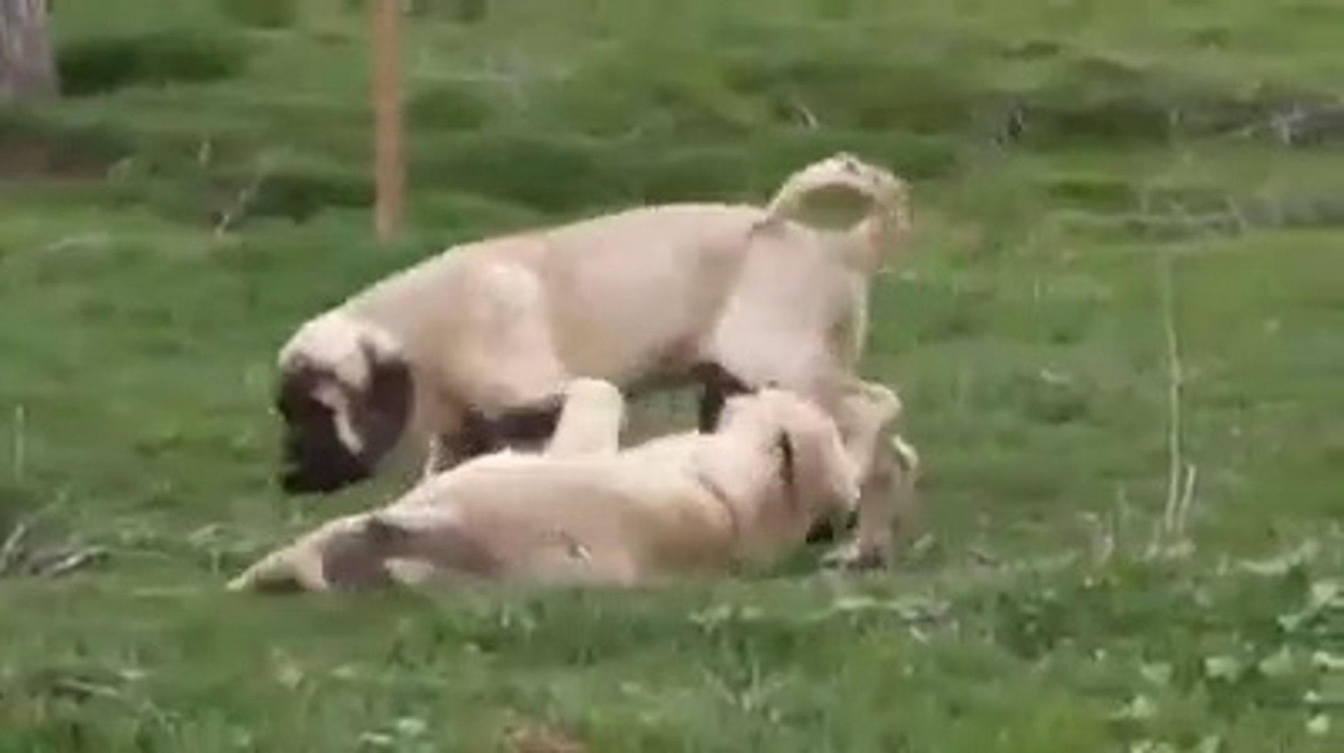 SEViMLi ANADOLU COBAN KOPEGi YAVRULARI - CUTE ANATOLiAN SHEPHERD DOG PUPPY