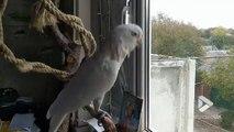 Ce perroquet adore le Métal !!! Headbang de fou en rythme !