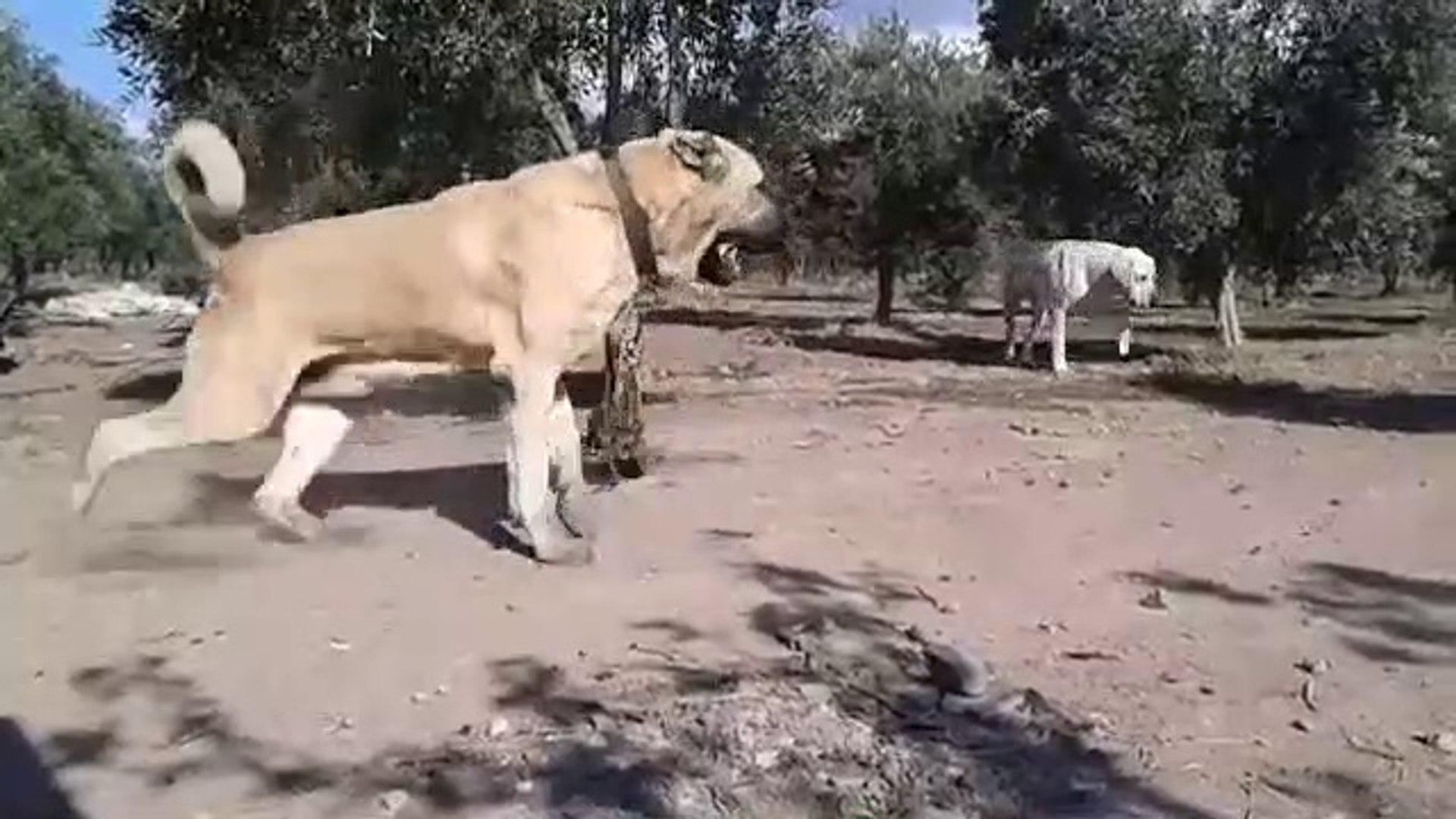 AKSARAY MALAKLI KOPEGi 4*4 - ANATOLiAN SHEPHERD DOG MALAKLI