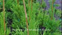 Growing Cryptomerias    We grow small Cryptomerias for cheap fast growing Screening trees