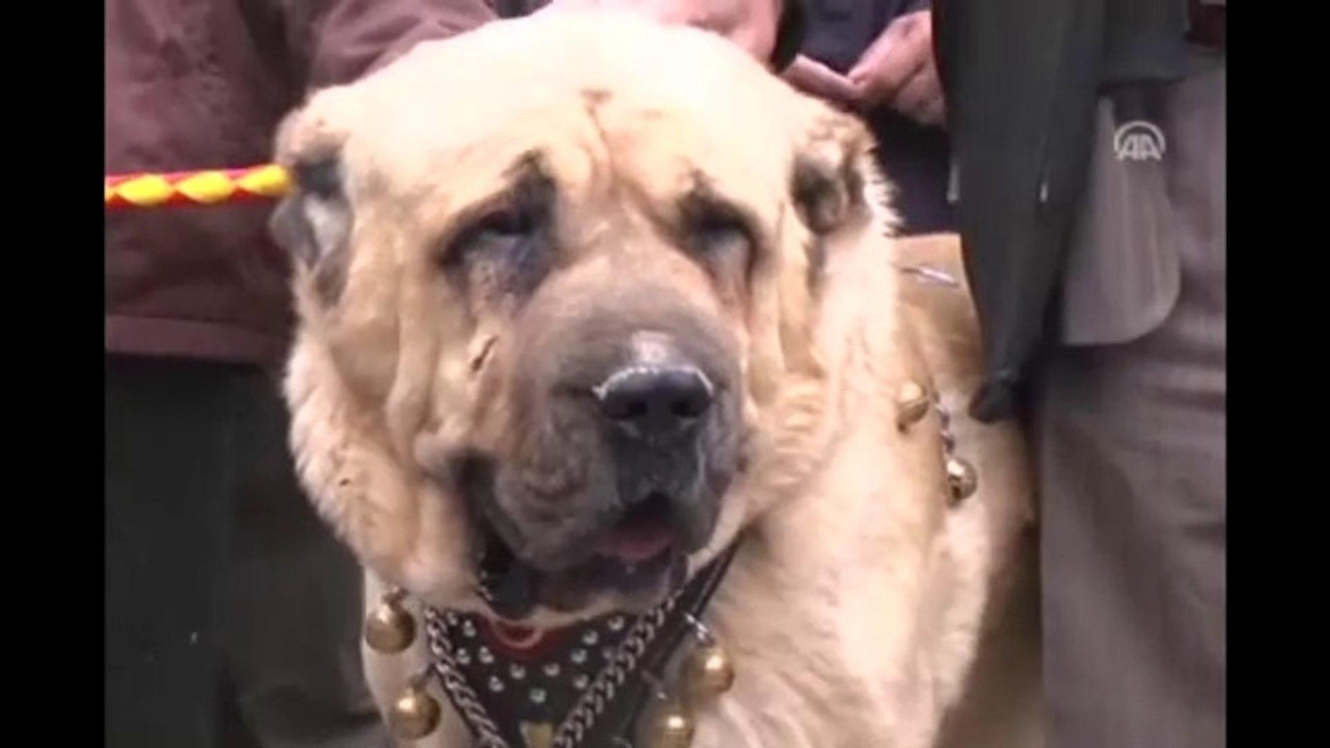 ANADOLU ASLANI AKSARAY MALAKLISI - ANATOLiAN KiNG MALAKLI DOG