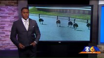 Jimmy John's Delivery Driver Facing Charges After Hitting Geese With Car