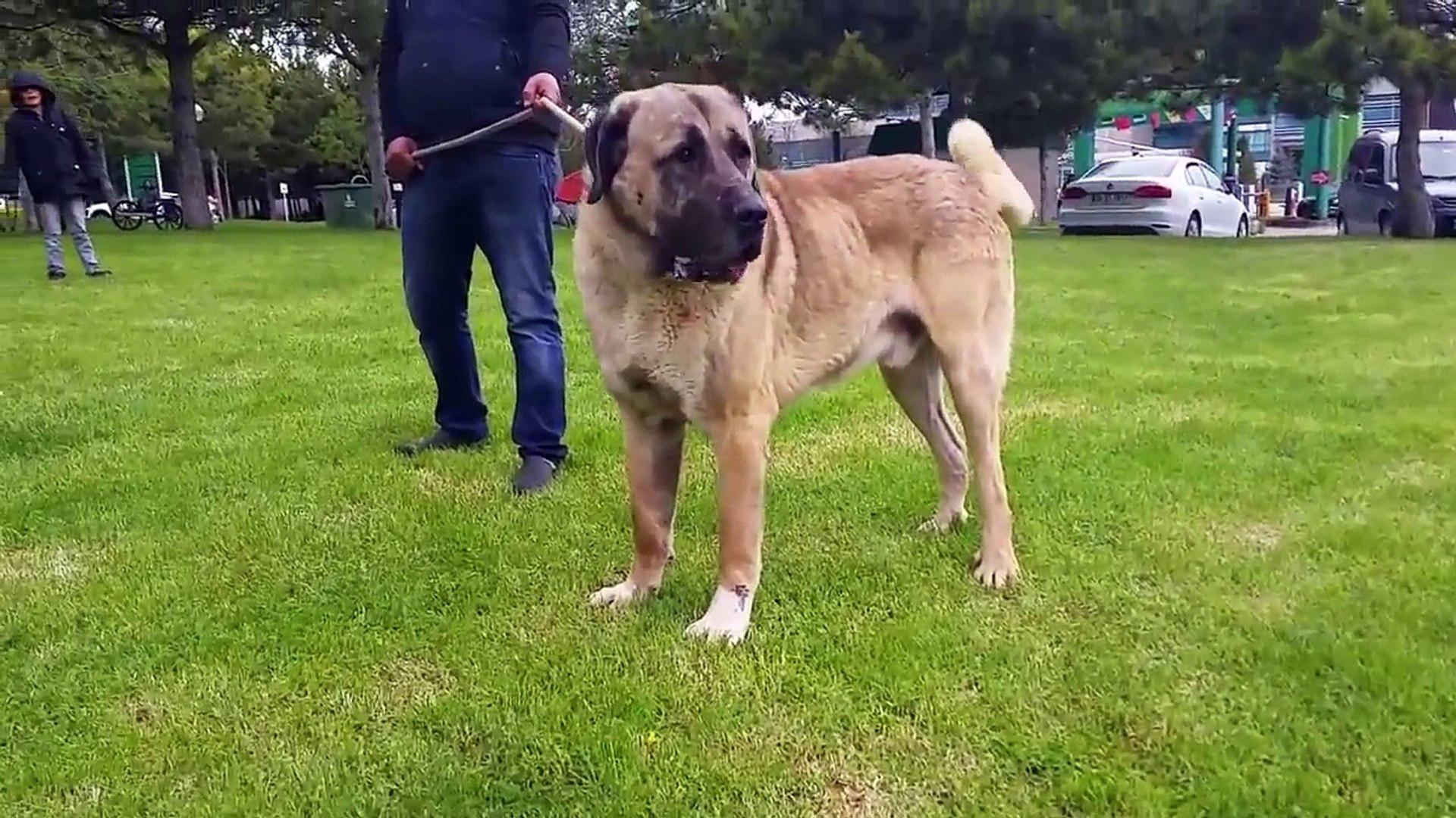 DEV AKSARAY MALAKLILAR ARENASI - GiANT ANATOLiAN SHEPHERD MALAKLI DOG ARENA