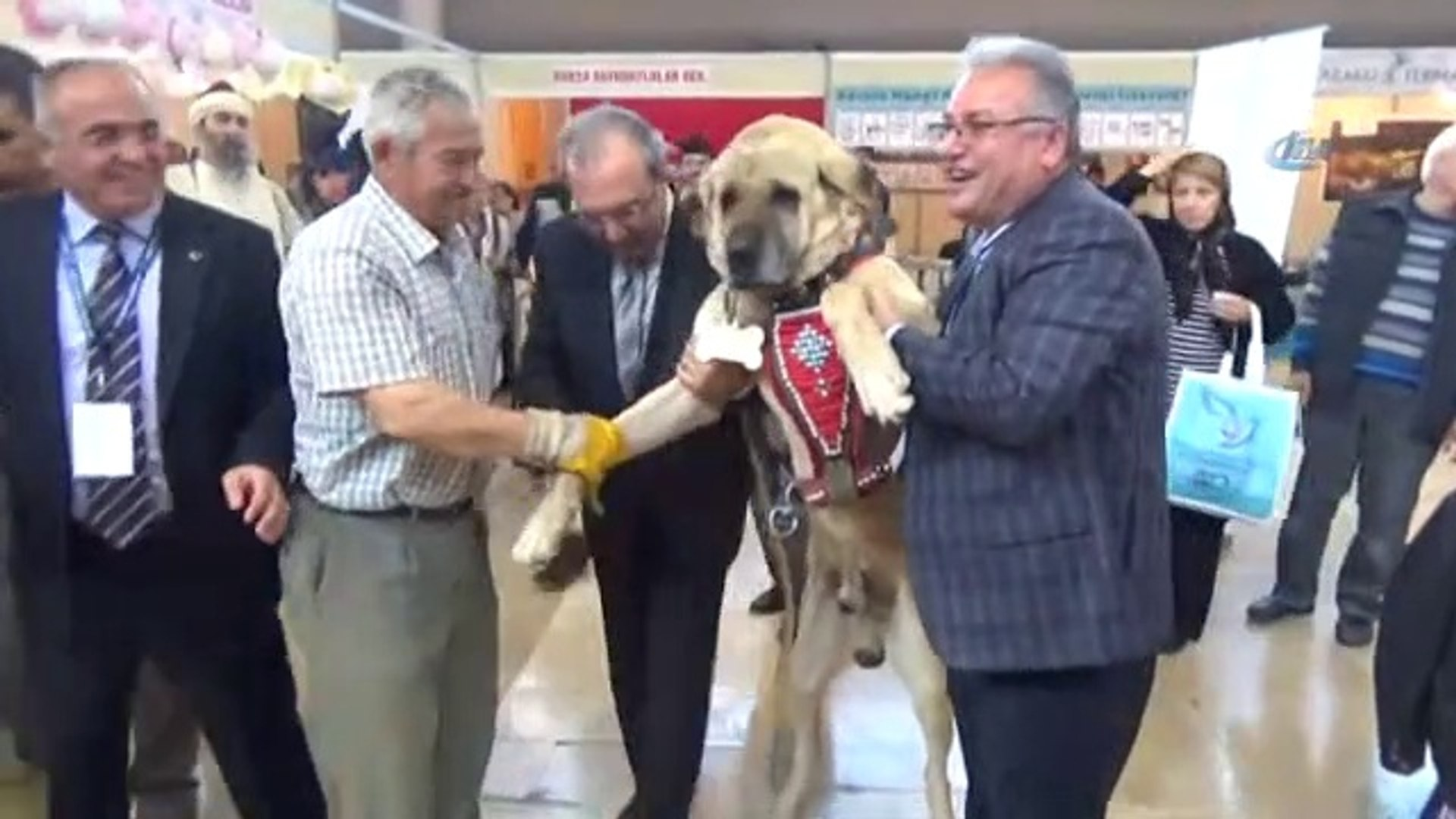 AKSARAY MALAKLI KOPEGi SASIRTTI - ANATOLiAN SHEPHERD DOG MALAKLI