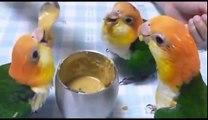 parrot videos - parrots dancing - a funny parrot videos compilation