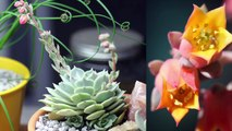 How to Separate Succulents: Removing Babies/Offsets with Sucs for You!