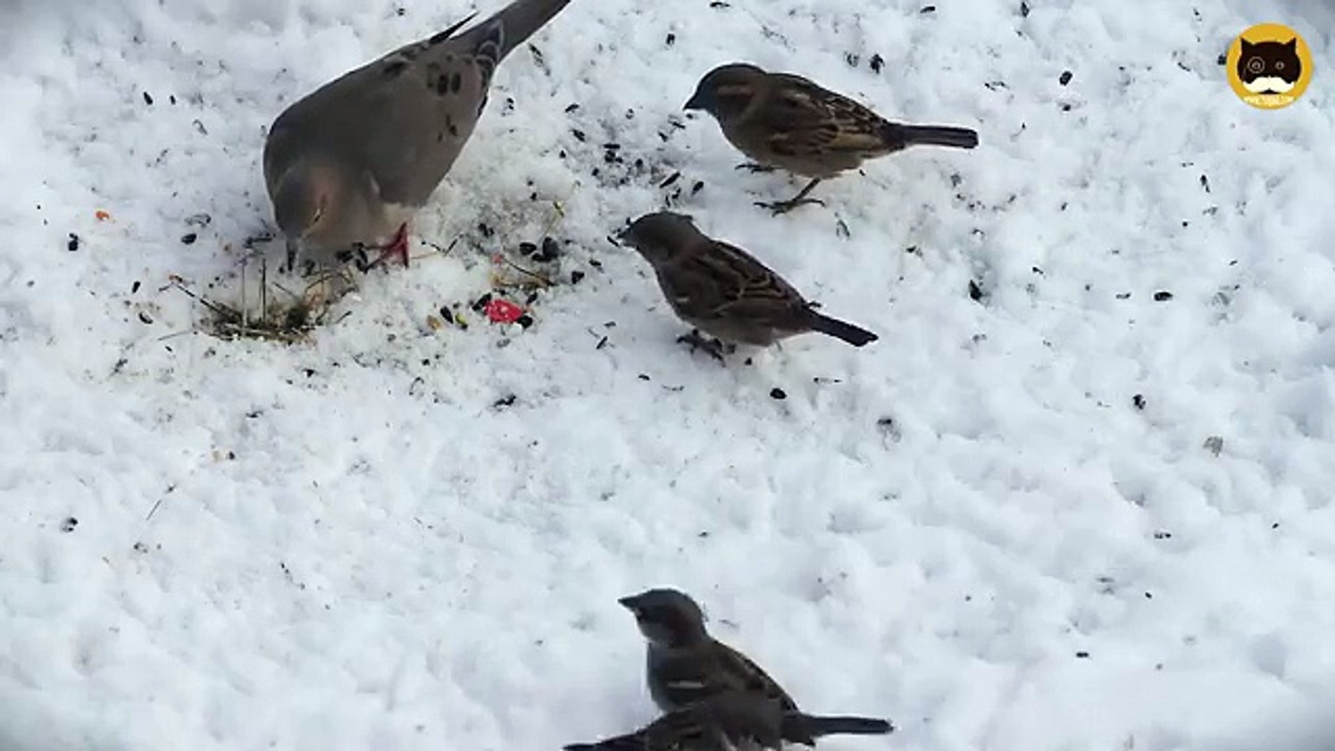 ENTERTAINMENT VIDEO FOR CATS. Winter Birds #5. House Finch, Sparrows, Mourning Dove.