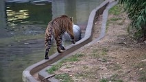 Tiger Plays With a Tank at the National Zoo