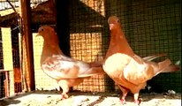 Best fancy pigeons breeding cage || Breeding pigeons loft daily activity || Pigeons Videos ||