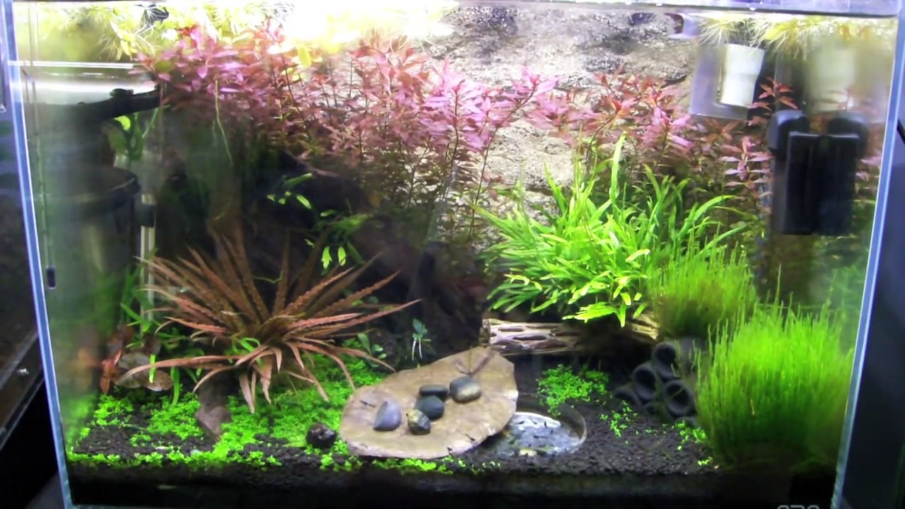 NEOCARIDINA SHRIMP CARE! (carbon rili, red cherry shrimp)