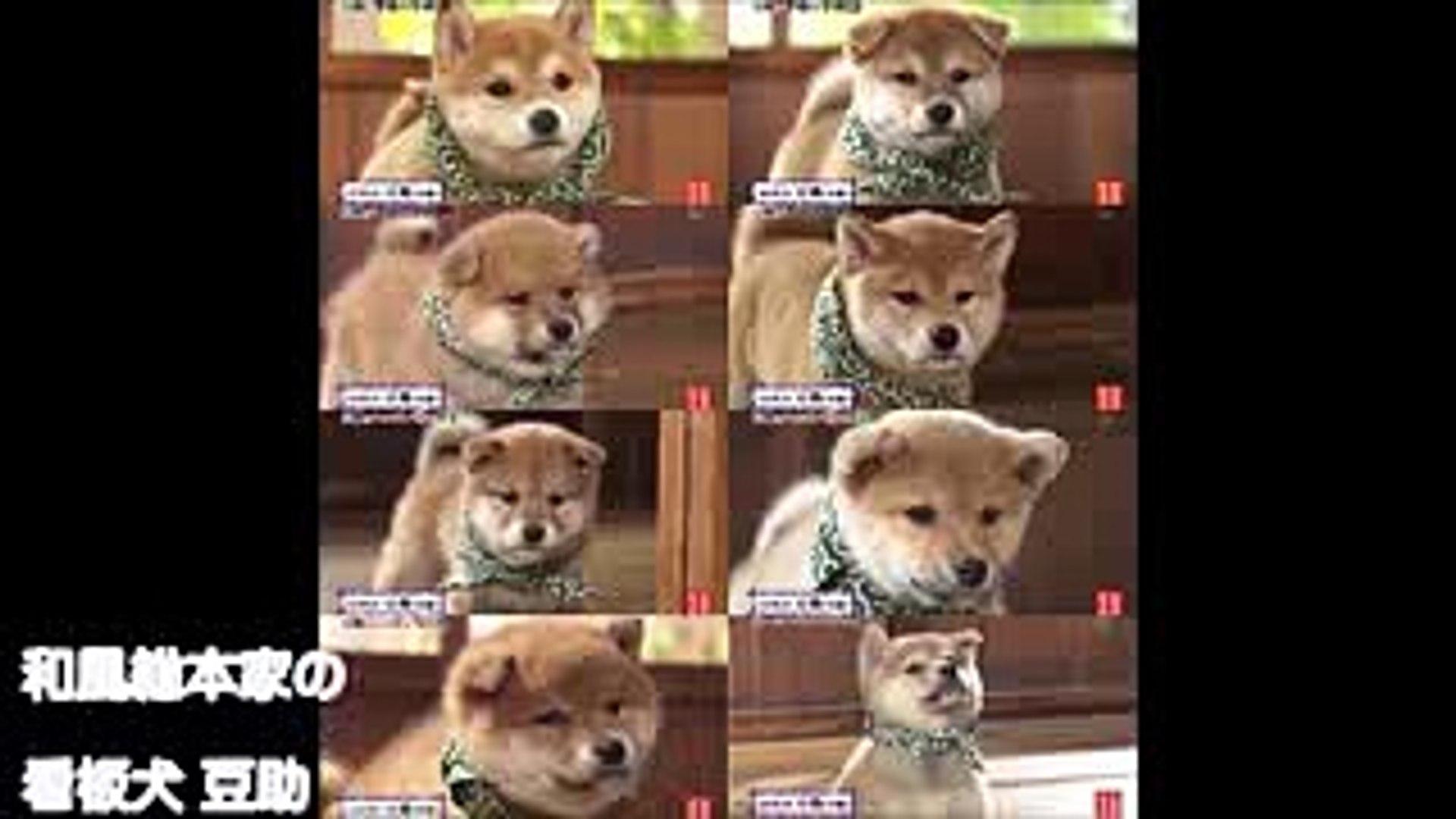 豆助にキュン 和風総本家の看板犬豆助が可愛い Video Dailymotion