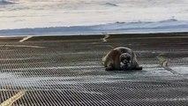 A 400 lbs bearded seal blocks an airport runway