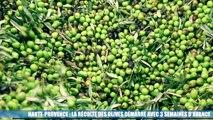 Haute-Provence : la récolte des olives commence avec 3 semaines d'avance