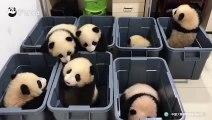Ces bébés pandas adorables essaient de s'échapper de leur boite en plastique