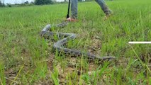 Amazing Cow Boys Catch Two Biggest Snakes While Feeding Their Cows in My Village