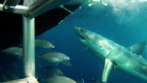 Great White Shark chomping and bumping at diving cage