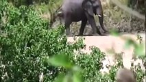 Top the attack dispersed the lion's strong➜ Wild animal world Lion Attack animals