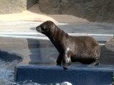 ABC15 EXCLUSIVE: Meet Sunny, the first sea lion born in Arizona - ABC15 Digital