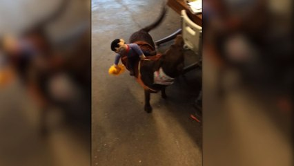 Puppy Chases The Cowboy On His Halloween Costume