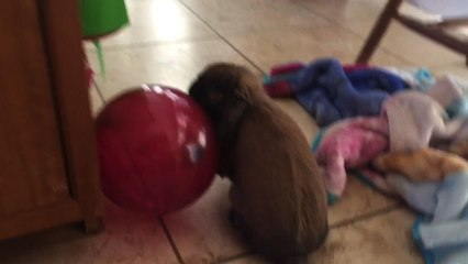 Bunny Plays with Balloon Until It Pops!