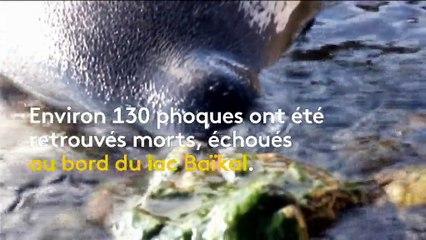 Russie   130 phoques retrouvés morts au bord du lac Baïkal 2efad7bc8f