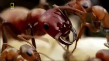 Ants Documentary Channel Savage Armies of Ants Army Ants