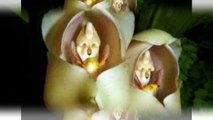 Do you believe ? There are flowers looking like a baby ! They are Anguloa Uniflora flowers.