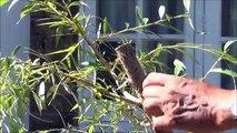 Grow bonsai trees from cuttings. How to grow Weeping Willow Bonsai Trees from cuttings - Part 2