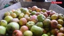 Guissény. Fête de la pomme