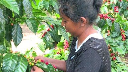 Réchauffement climatique : au Mexique, la production de café est en péril