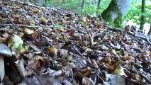 Une concentration et une récolte exceptionnelle de cèpes en octobre new