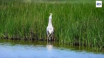 Heron eats huge fish, Heron eating Rabbit, Kills Gophers, dove 헤론 사냥