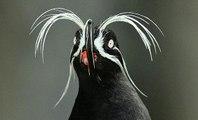 Cứ tường là  loài thú ăn thịt - Bất ngờ khi phát hiện ra đây là loài chim sử dụng râu để dò đường đi trong đêm tối