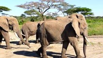 Beautiful Wildlife Of The Elephants (HD) / elephants in pure Nature..