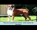► World's Top 10 Most Dangerous Dog Breeds in 2017  Most Aggressive Dogs