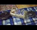 Chinchilla funny videos. Chinchilla dust bath. Chinchilla barking.