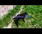Fainting Goats, funny goat videos.