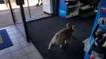 Trop mignon ce Koala se perd dans un magasin d'électronique en Australie !