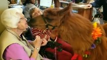 Therapy Llamas Share Love With Elderly, Special Needs Kids