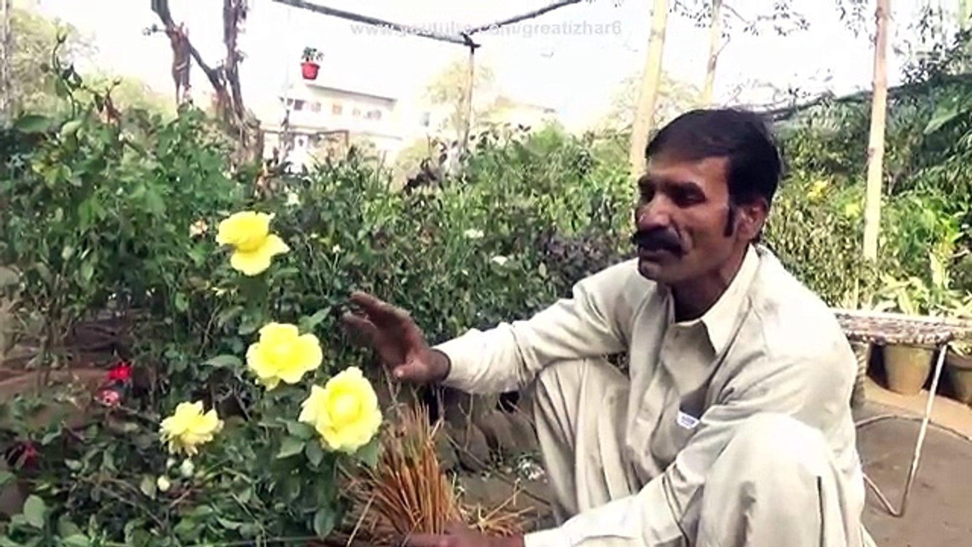 Difference in English Rose & Desi Rose   Planting Roses in Pots   Nursery Visit (Urdu/hindi)