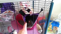Guinea Pig, Rat Room Tour + Diet and Treats