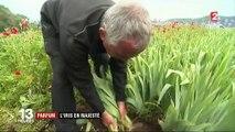 Parfum : à la découverte de la culture de l'iris
