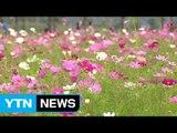 코스모스로 성큼 다가온 가을...교외 나들이객 북적 / YTN (Yes! Top News)