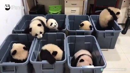 Vidéo de bébés panda trop mignon