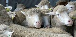 """VIDEO. """"Ovinpiades 2018"""" : le Centre-Val de Loire à la recherche des meilleurs jeunes bergers"""